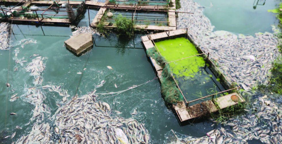 الزراعة: نقترب من القضاء  على مرض (كوي هيربس)  الذي أصاب الأسماك