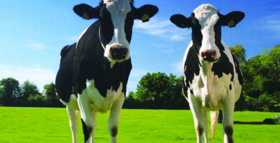 الأبقارُ تخبر بعضها بعضاً عن أحوالها