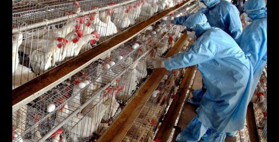 الزراعة تؤكد السيطرة على وباء أنفلونزا الطيور