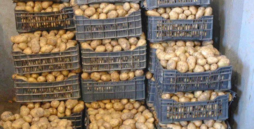 الزراعة: تصدير 22 ألف طن  من محصول البطاطا