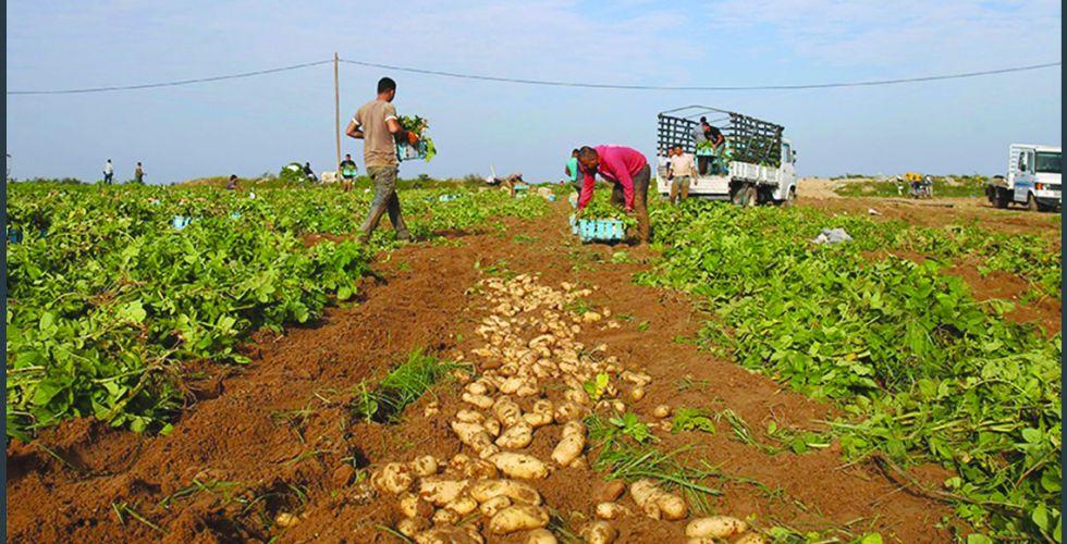 تصدير المحاصيل الزراعية.. الاكتفاء وتعدد الموارد