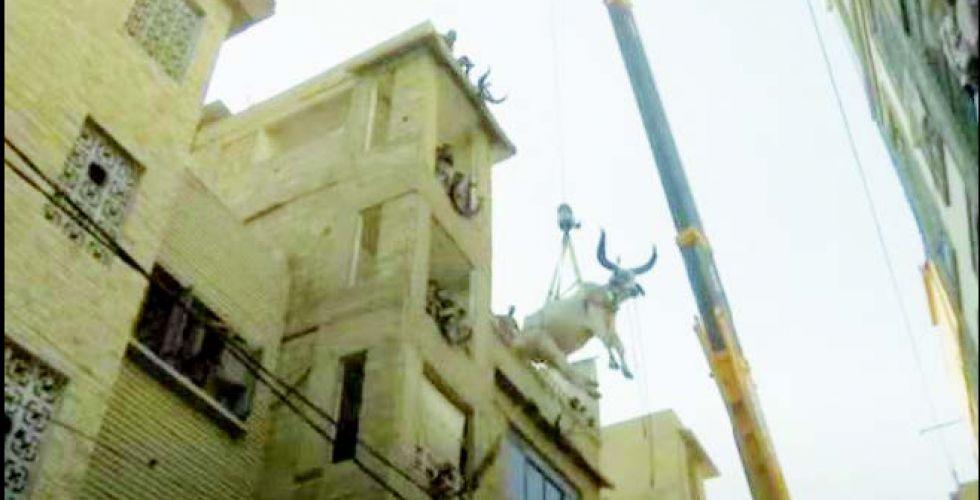 طقوس غريبة لتجهيز الأبقار في عيد الأضحى