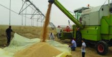الزراعة: 5 ملايين طن حنطة إنتاج  البلاد للموسم الحالي