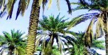 الزراعة: خطة لاعادة إحياء  بساتين النخيل وأشجار الفاكهة