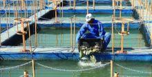 الفاو: تحسين تربية الأحياء المائية يطور الأمن الغذائي العالمي