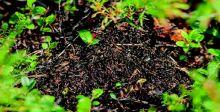 دراسة: النمل يفرزُ أدوية لعلاج نفسه والنباتات
