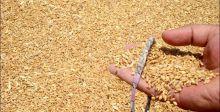 تجهيز المطاحن بـ 9 آلاف طن من الحنطة المحلية