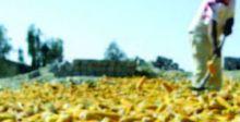 تسويق الشلب والذرة الصفراء في بابل
