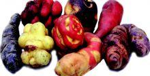 هل تنقذ بطاطا البيرو العالم من أزمة الغذاء؟