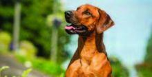الكلاب للكشف عن مرض يصيب الحمضيات