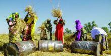 ثورة الرز تنعش اقتصاد نيجيريا