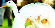 فيلق صيني من البط لمكافحة الجراد في باكستان
