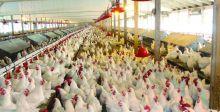 زراعة نينوى تطوق انفلونزا الطيور في حقول الدواجن