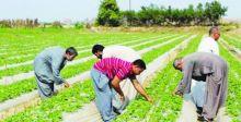 سايلو سنجار يستأنف عمله لتسلم محصول الحنطة