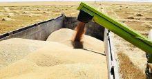 التجارة: تسويق أكثر من 4 ملايين طن من الحنطة
