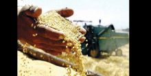 استمرار تسويق الحنطة إلى نهاية الشهر  الحالي في أربيل