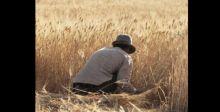 زراعة 500 ألف دونم من الشلب في ست محافظات