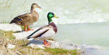 الصيد والهجرة.. يهددان الطيور  في العراق