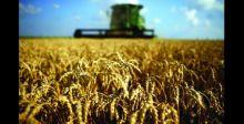 شركة تجارة الحبوب: لا نتسلم إلا الحنطة العراقية