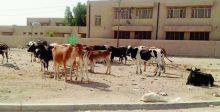 تربية الحيوانات داخل المدن.. أضرار صحيَّة وتلوث بيئي