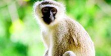 اختفاء القرداتي من شوارع بغداد وبيروت