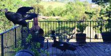 طيور نادرة تغزو منزلاً في كاليفورنيا